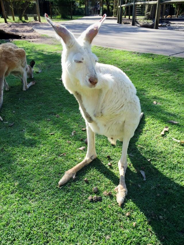 Caversham Wildlife Reserve Park kangaroo Perth Western Australia