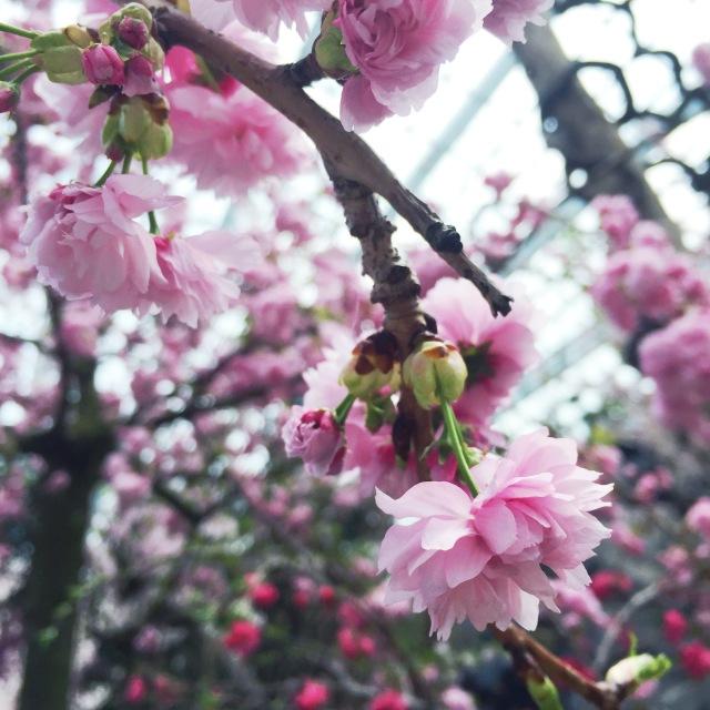 cherry blossom sakura high tea singapore pollen gardens by the bay